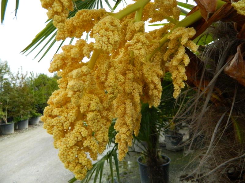 пальма разновидности