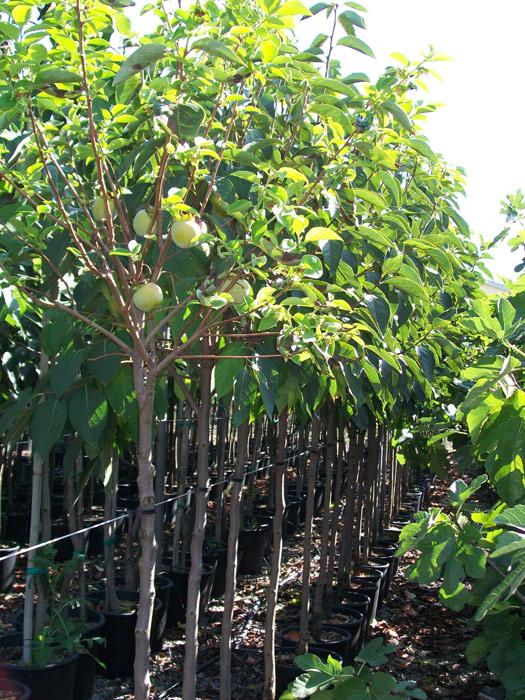 vendita piante da frutto vendita piante da frutto online