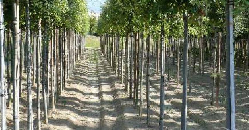 Alberi sempre verdi e a foglia caduca poli vivai - Alberi da giardino sempreverdi ...