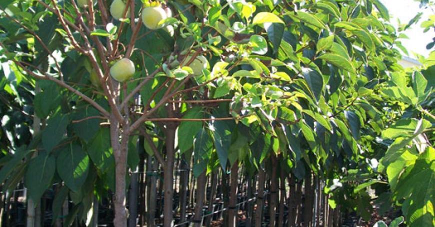 Piante da frutto poli vivai for Vivai piante da frutto